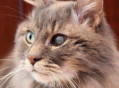 Глаз кота поражен болезнью