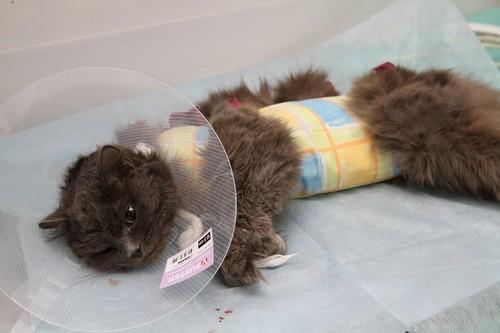 Питомец после операции