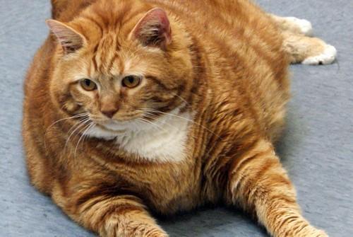 Перекормленный кот