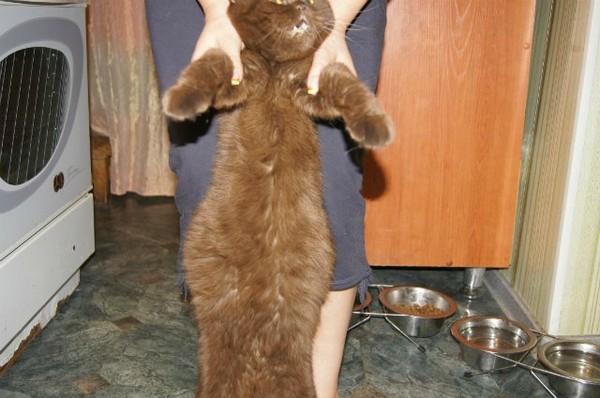 Асцит у кошек