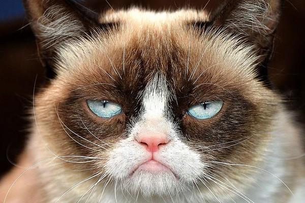 «Сердитый кот», а точнее, кошка - интернет-знаменитость