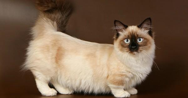 Манчкин - кошка-такса - тоже любит поболтать с хозяином )