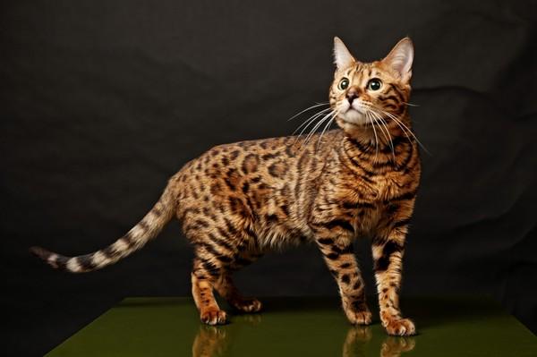 Этот мини-леопард - умный и преданный друг