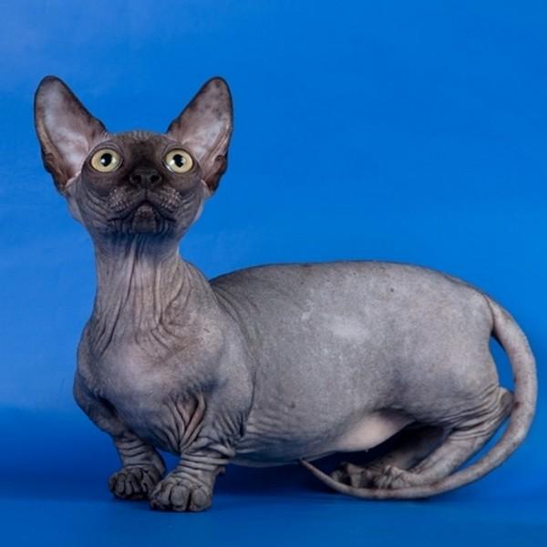 Черты породы - длинное тело, коротник лапки, большие ушки и отсутствие шерсти