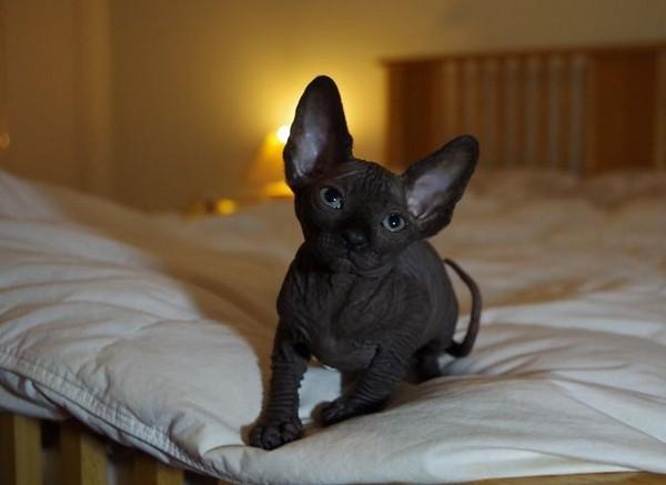Черный сфинкс - лучший лекарь из всех кошек
