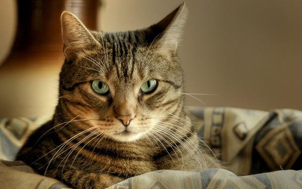 Могут ли коты быть полосатыми