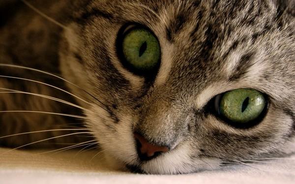 Некоторые коты и кошки имеют огромные глаза и особо выразительный взгляд