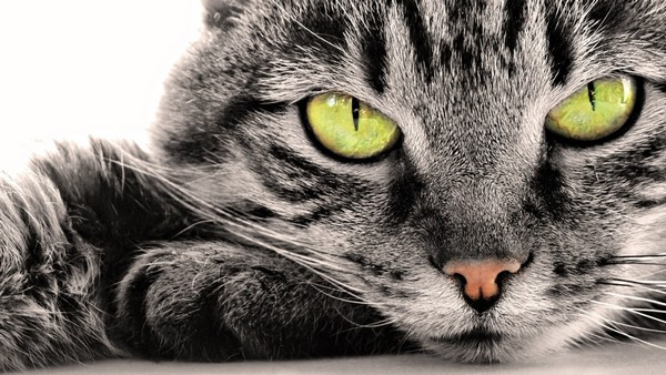 Перед очарованием полосатой кошки невозможно устоять