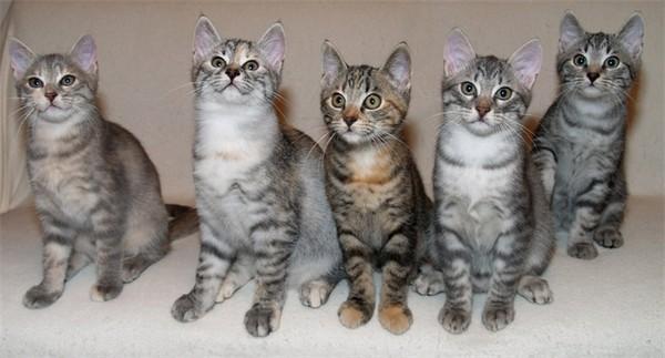 Полосатые представители кошачьего семейства