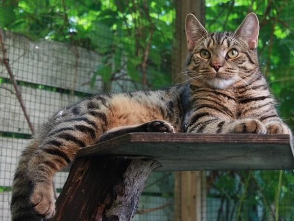 Тигр в миниатюре