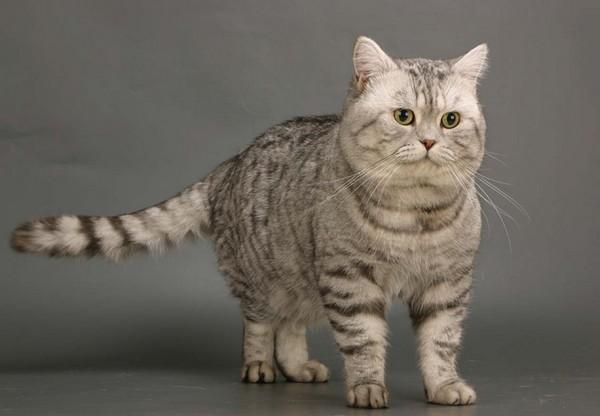 Британская кошка также не лишена полосок