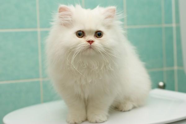 Персидские кошки обычно большеглазы