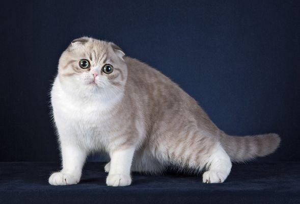 Скоттиш-фолд имеет забавную внешность из-за огромных глаз и формы ушей