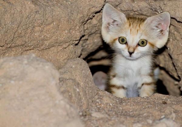 Большие уши придают кошкам особое очарование