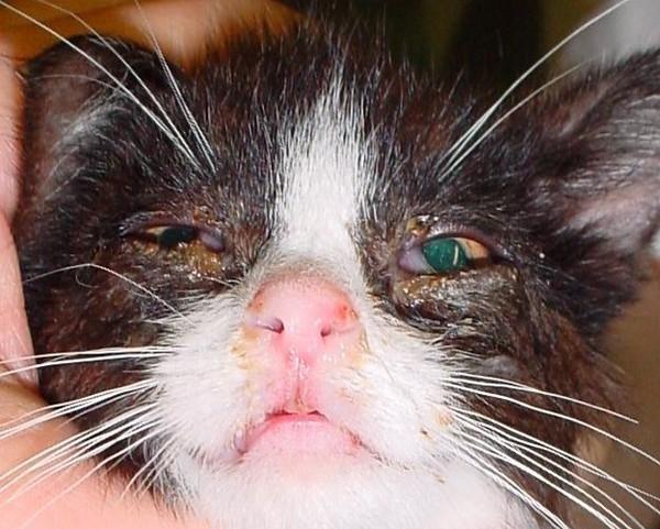 Герпес у кошки
