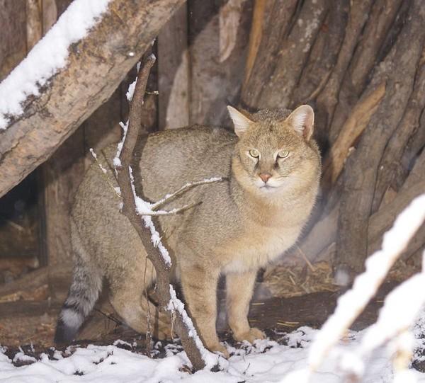 Кошки и коты без хвоста: что за порода
