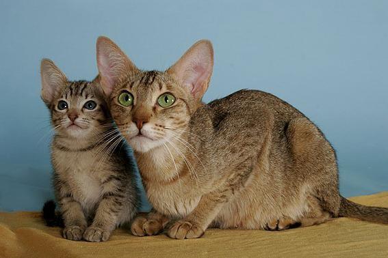 Кошка и котенок Канаани