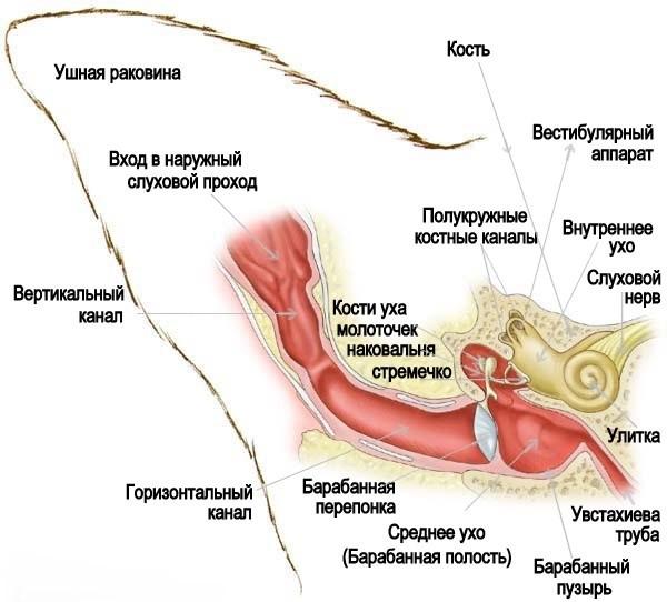 Схема кошачьего уха