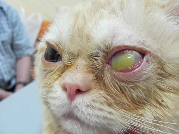 Переболевшая кошка остается носителем вируса