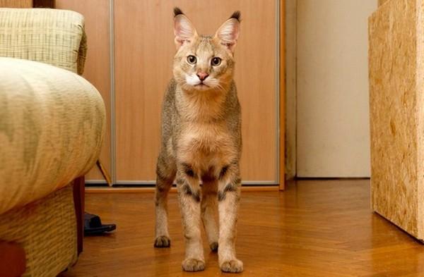 Кошка чауси