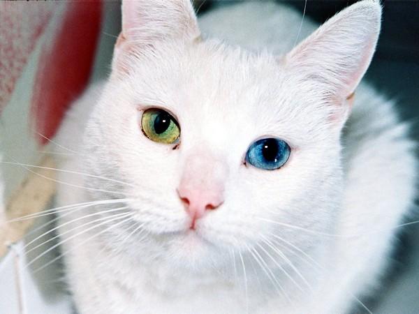 Белая турецкая ангора с разноцветными глазами