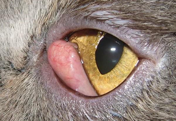 Выпадение слезной железы у кошки
