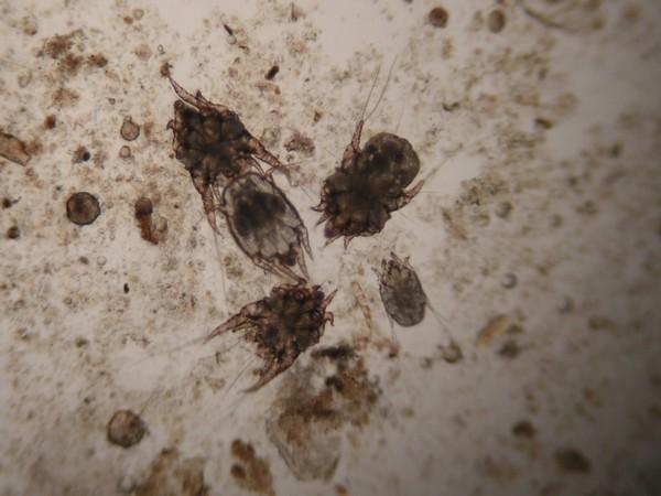 Микроскопический клещ Otodectes cynotis
