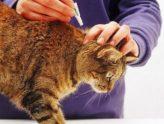 Обзор наиболее эффективных и безопасных капель от блох для кошек