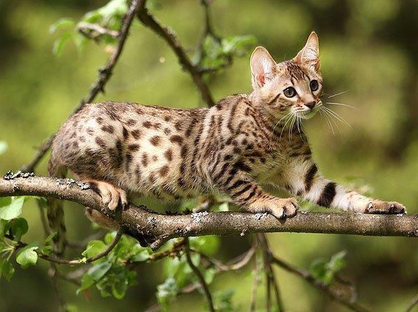 Кошка серенгети на дереве