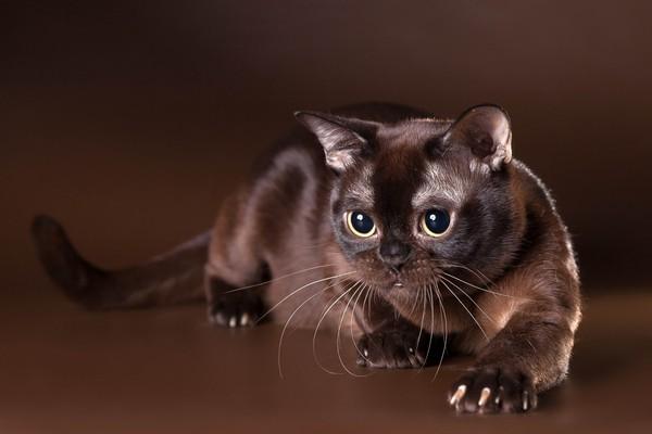 Кошка-шоколадка