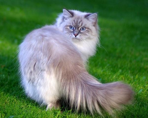 Разновидность сибирской кошки - невская маскарадная