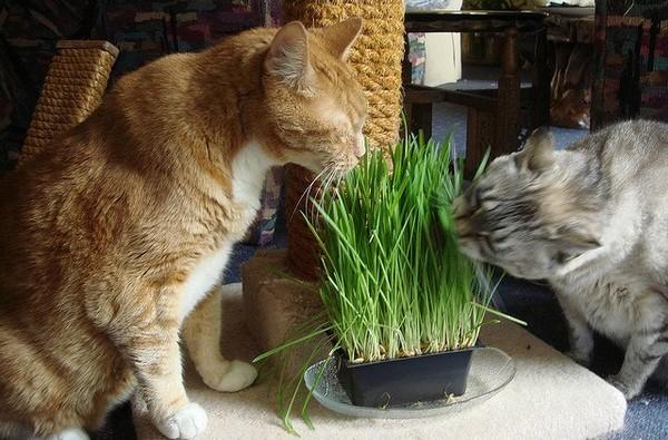 Многие кошки поедают травку с удовольствием