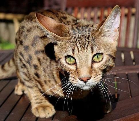 Порода кошек серенгети – одна из самых молодых