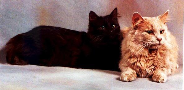 Кошки шантильи тиффани