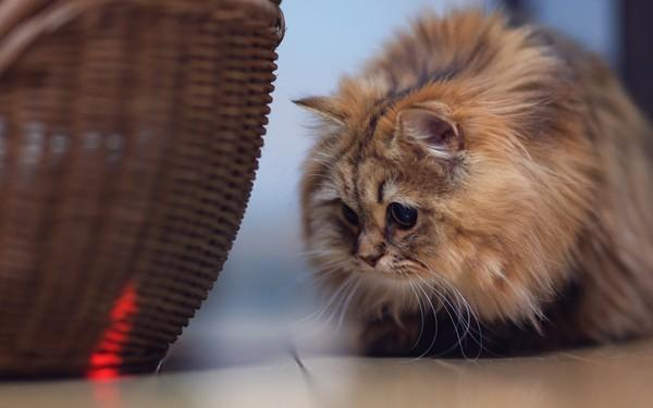 Кошачья охота на лазер
