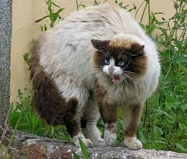 Инстинкт продолжения рода может сделать кота агрессивным