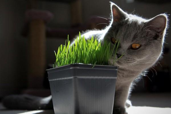 Кошачью траву можно вырастить дома или купить в зоомагазине