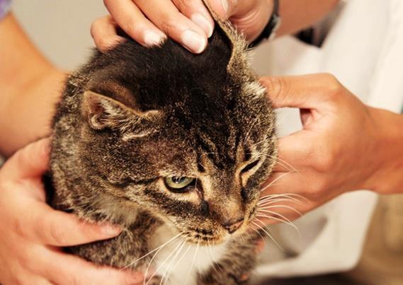 Как почистить уши кошке?