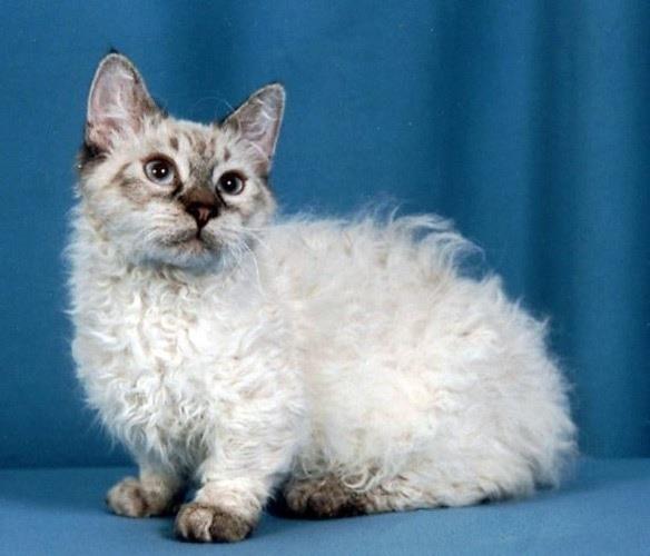 Тело кошки скукум похоже на ягненка