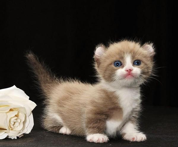 Котенок кинкалоу