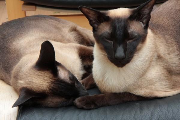 Кошки сиамы