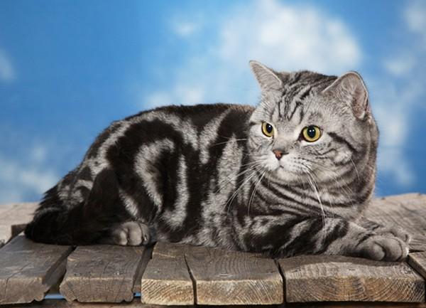 Британский кот окраса мраморный табби
