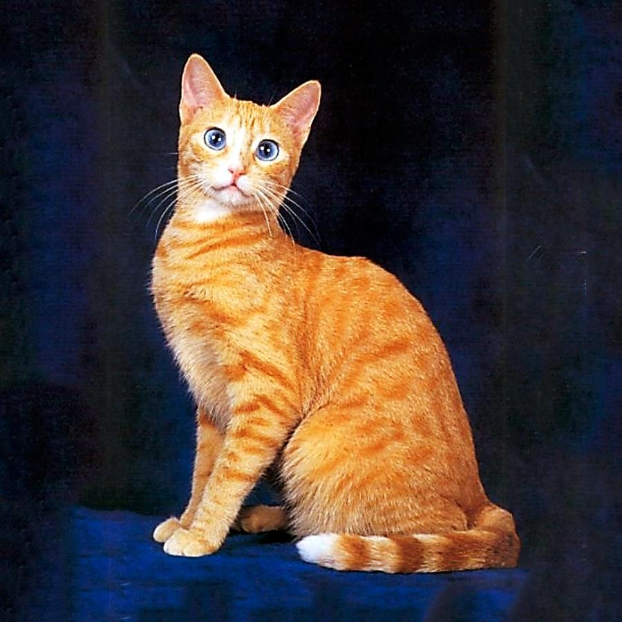 Рыжая кошка с голубыми глазами