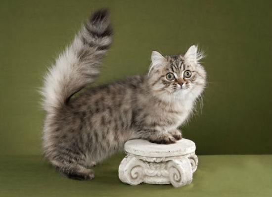 Кошка породы Наполеон