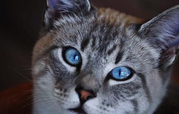 Серый кот с голубыми глазами