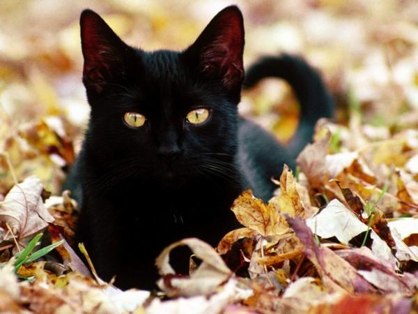 Курильский бобтейл – кошка с собачьим нравом