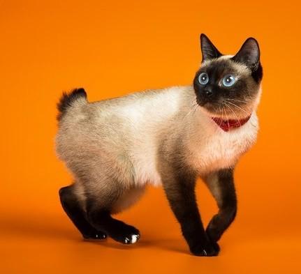 Кошка породы скиф-тай-дон
