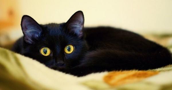 Черная кошка с выразительными глазами