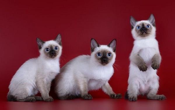 Уникальная порода кошек