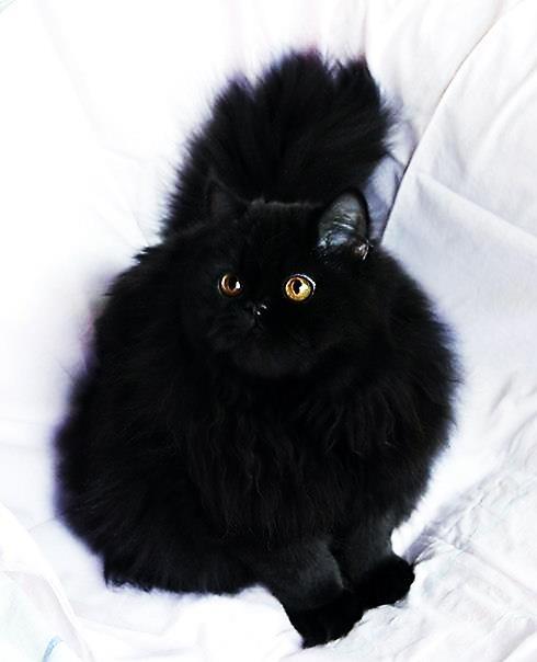 Персидский кот черного окраса